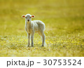 prime lamb on green grass 30753524