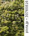 木 緑 緑色の写真 30760816