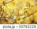 レンギョウ 花 春の写真 30762226