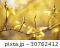 レンギョウ 花 春の写真 30762412