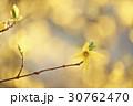 レンギョウ 花 春の写真 30762470