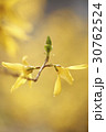 レンギョウ 花 黄色の写真 30762524