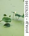 緑 緑色 蓮の写真 30763346