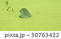 ウキクサ 緑 緑色の写真 30763422