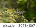 蝶 昆虫 揚羽蝶の写真 30764607