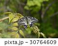 蝶 昆虫 揚羽蝶の写真 30764609