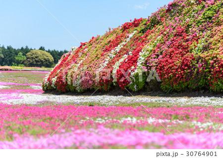 ツツジと芝桜 30764901