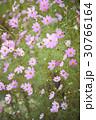 秋 花 屋外の写真 30766164