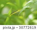 キイトトンボ 30772619
