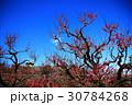 大阪城と梅の花 30784268