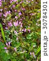 ホトケノザ シソ科 唇形花の写真 30784301