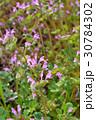 ホトケノザ シソ科 唇形花の写真 30784302