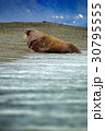 Walrus, Odobenus rosmarus, stick out 30795555