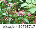 蝶 チョウ 蝴蝶の写真 30795717
