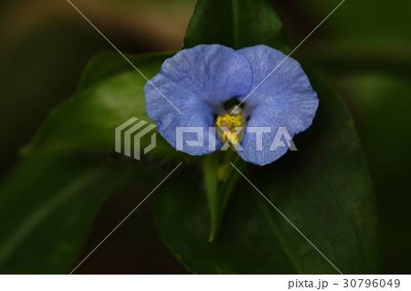 自然 植物 ホウライツユクサ、沖縄のあちこちで見られます。厄介な雑草のようですが花は愛嬌があります 30796049