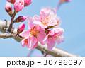 桃の花 花 春の写真 30796097