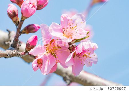 桃の花 30796097