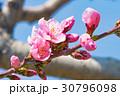 桃の花 花 春の写真 30796098