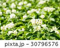 花 植物 野菜の写真 30796576