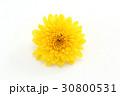 小菊 菊 植物の写真 30800531