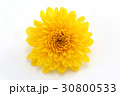 小菊 菊 植物の写真 30800533