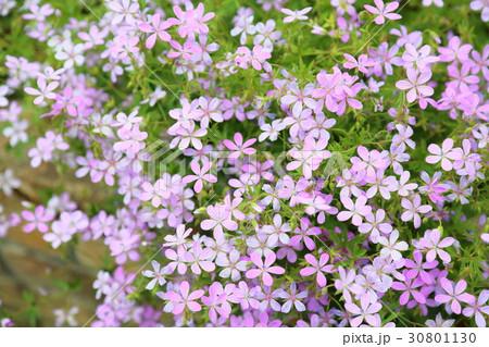 シバザクラの花 30801130