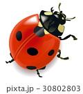 てんとう虫 テントウムシ 天道虫のイラスト 30802803