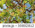 ヤマモモの新葉 30802812