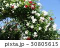 バラ園 バラの花 バラの写真 30805615