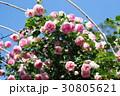 バラ園 バラの花 バラの写真 30805621
