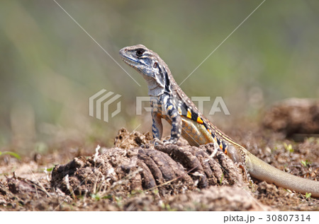 Common butterfly lizard Reptiles of Thailand 30807314