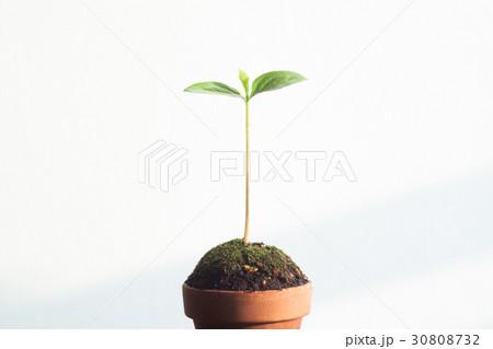 新しい葉, 新芽 30808732