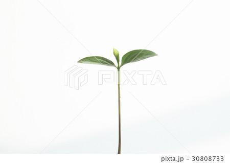 新しい葉, 新芽 30808733