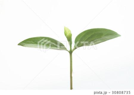 新しい葉, 新芽 30808735