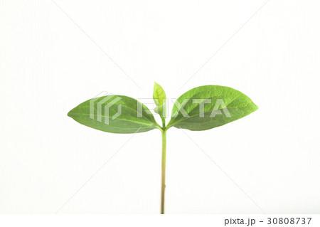 新しい葉, 新芽 30808737