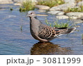 ハト キジバト 鳩の写真 30811999