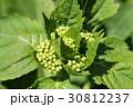 アジサイ あじさい 紫陽花の写真 30812237