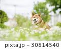 花畑の柴犬 30814540