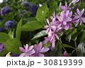 あじさい 花 紫陽花の写真 30819399
