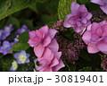 あじさい 花 アジサイの写真 30819401