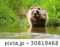 タヌキ 狸 たぬきの写真 30819468