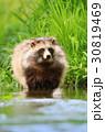タヌキ あらいぐま アライグマの写真 30819469