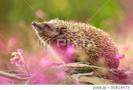 Adorable hedgehog in flowers 30819473