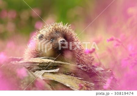 Hedgehog in flowers 30819474