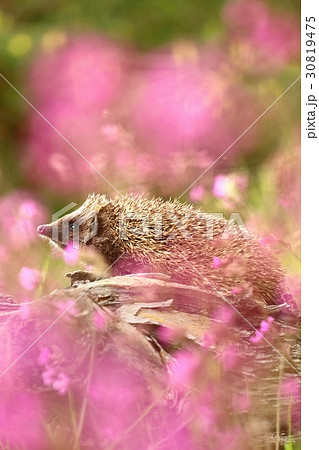 Young hedgehog in flowers 30819475