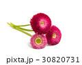 花 デイジー デージーの写真 30820731