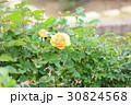 花 バラ 黄色の写真 30824568