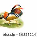 オシドリ(水彩画風) 30825214