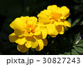 マリーゴールド 黄色 花の写真 30827243