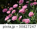 マーガレット ピンク 花の写真 30827247